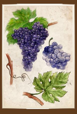 samburesti-soiuri-Cabernet-Sauvignon