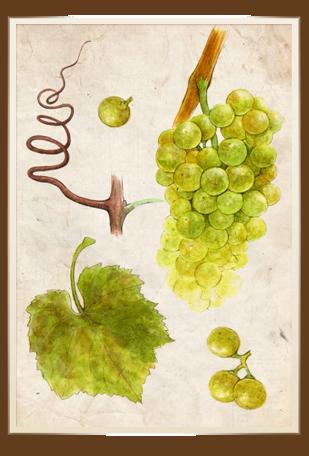 samburesti-soiuri-Chardonnay