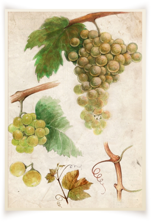 samburesti-soiuri-Sauvignon-Blanc
